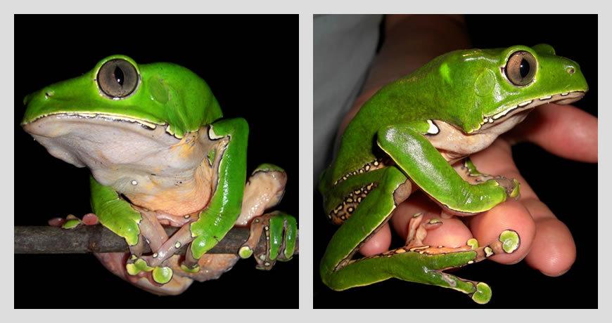 Amazon Tree Frog - Amazon - Brazil