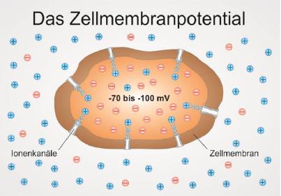 IBMS Champions Line Zellmembranpotential