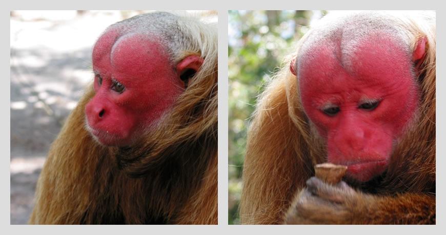 Uakari Monkey - Amazon - Brazil