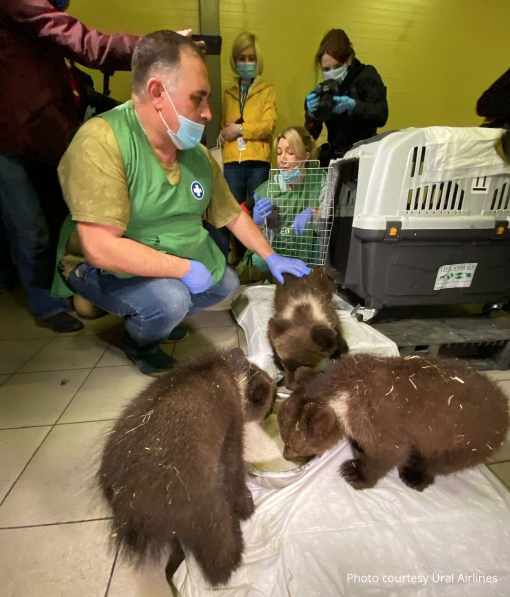 3 brown bears transported by Ural Airlines