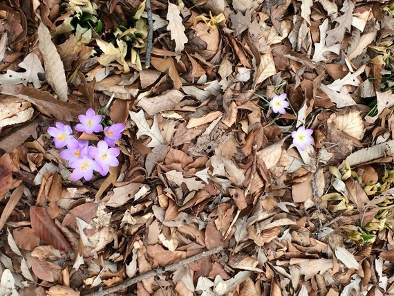 flowers popping up through fall leaves